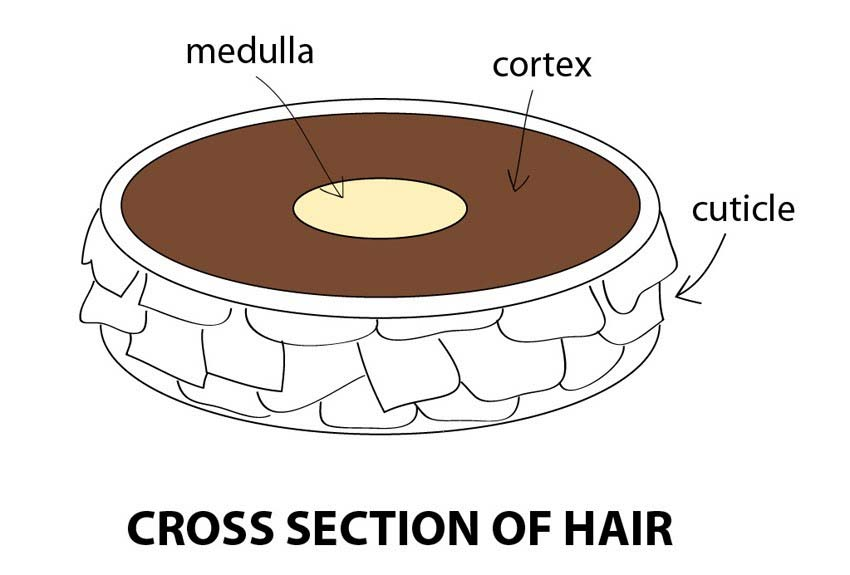 hair-section
